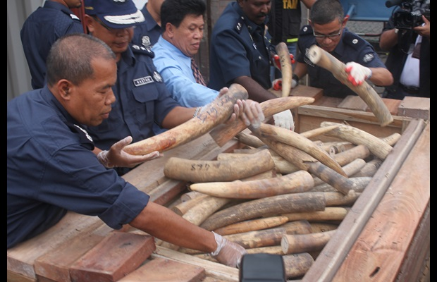 Massive ivory seizure by Royal Malaysian Customs