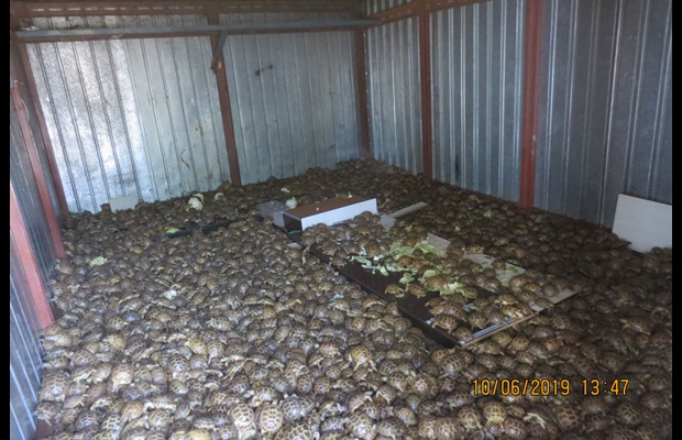 Russian Federation Customs officers discovered 4,100 turtles when inspecting a truck that the smugglers had claimed to contain cabbage.