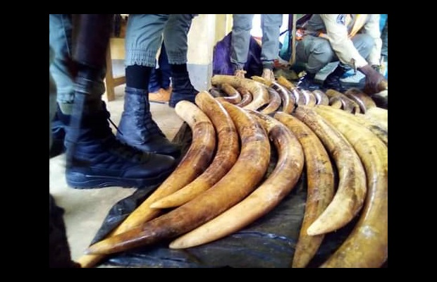 A joint Cameroon Customs-Police task force stopped a truck at the border with Gabon and Equatorial Guinea, transporting 856 kg of raw elephant tusks concealed amongst other illicit goods (Photo: Courtesy of Cameroon).